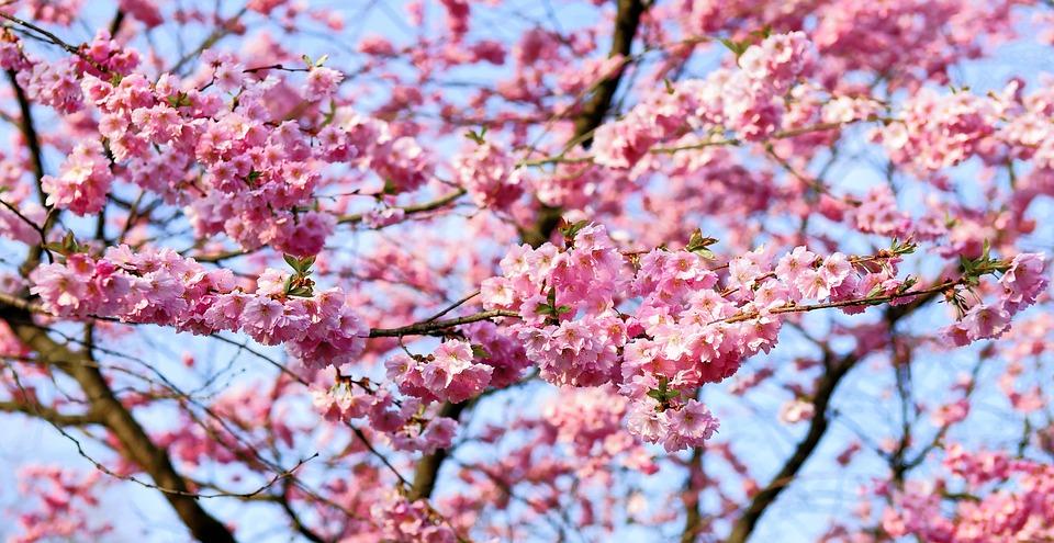 cherry-blossom-1318258_960_720