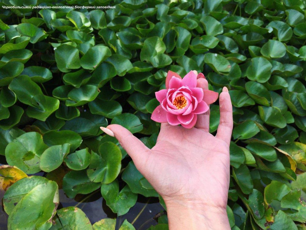 У Чорнобильській зоні зацвіли рожеві лілії